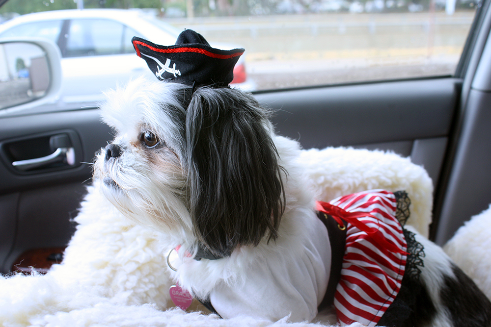 Shih Tzu Pirate