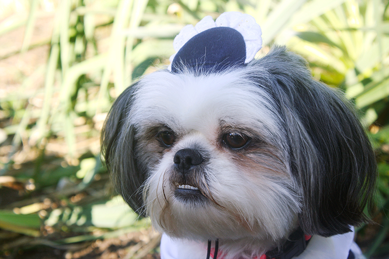 Shih Tzu French Maid Hat