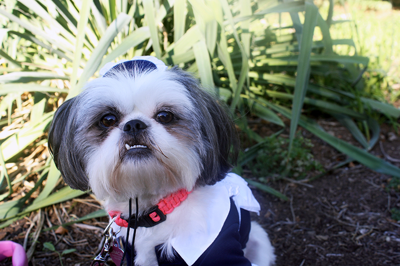 Shih Tzu Dog Wearing Halloween Costume