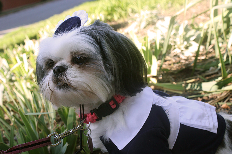 Shih Tzu in French Maid Halloween Costume