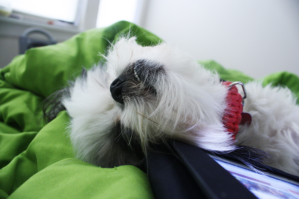 Shih Tzu Face Upside Down