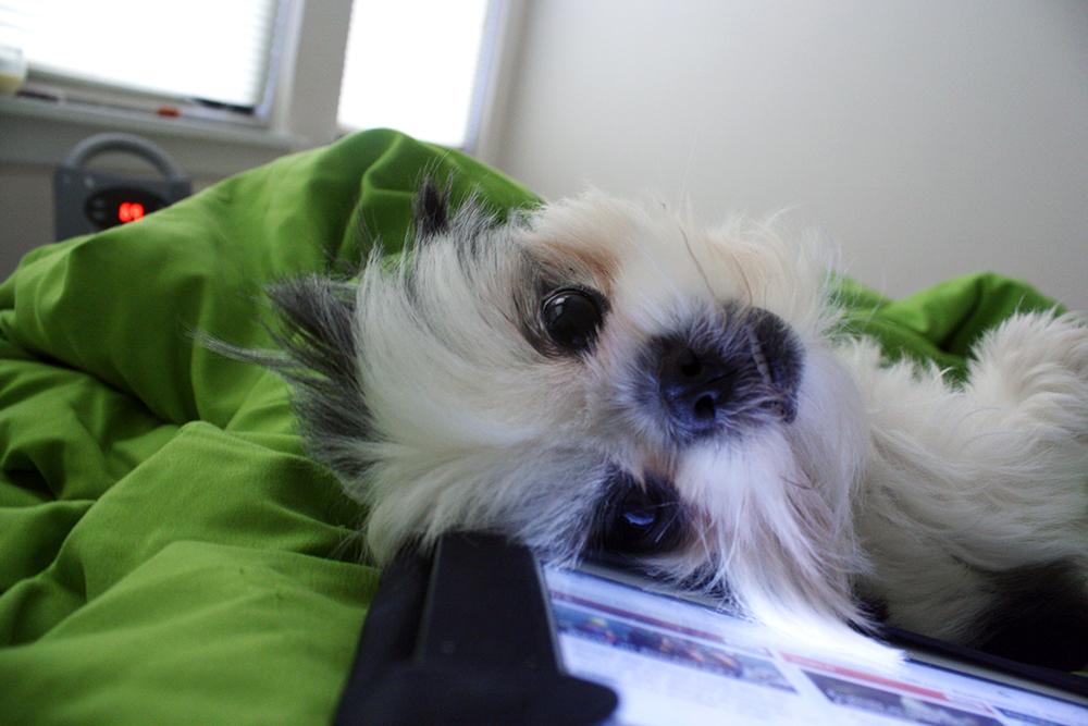 Gracie Lu Shih Tzu Fluffy Face