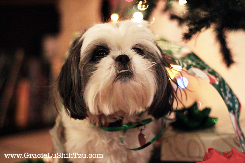 Gracie Lu Shih Tzu on Christmas