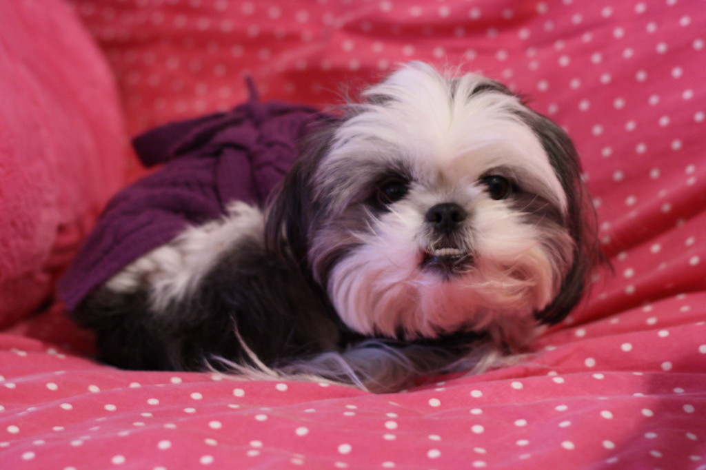 Cute Gracie Lu Shih Tzu