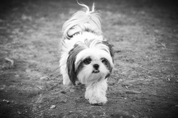 Shih Tzu at the dog park