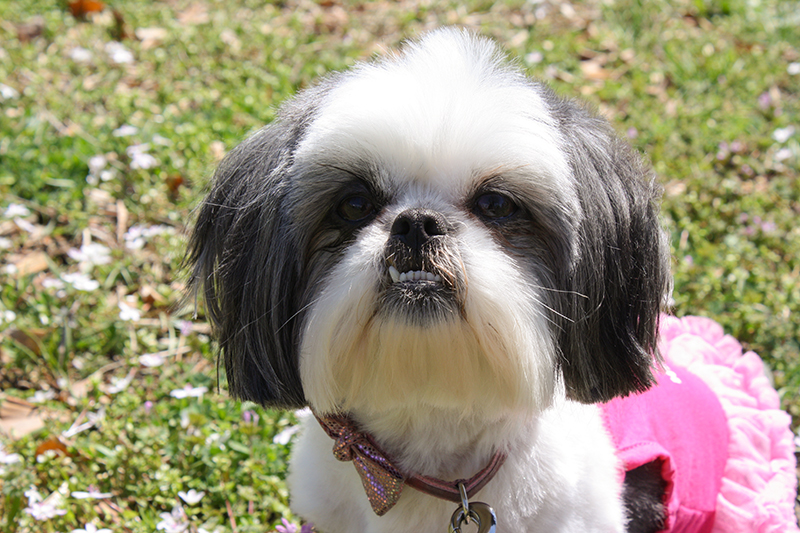 Gracie Lu Shih Tzu with Puppy Cut