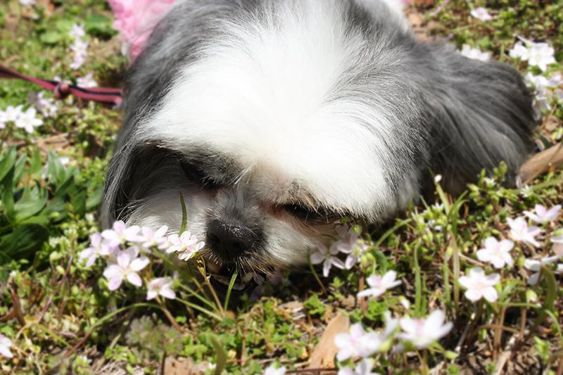 Gracie Lu Shih Tzu eating flowers