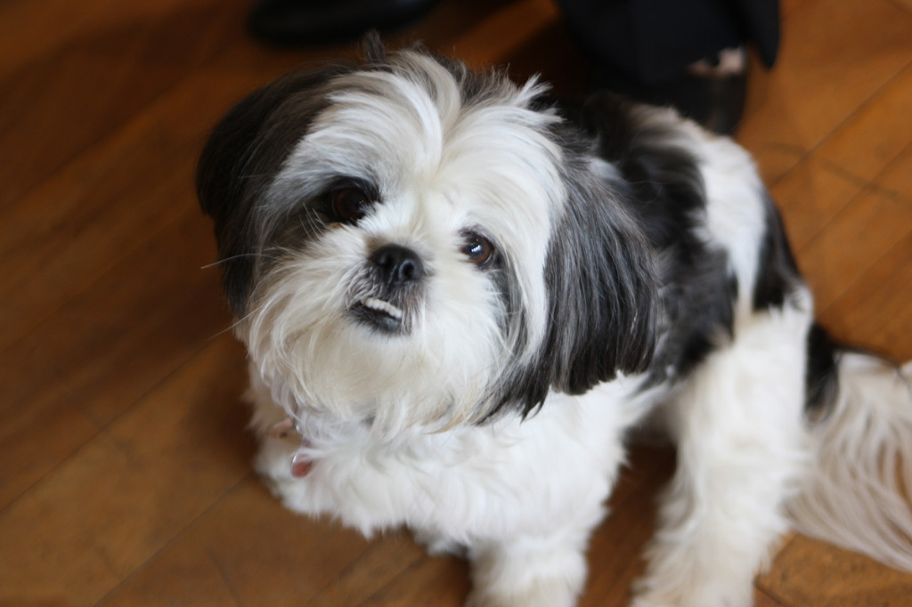 Gracie Lu Shih Tzu with Sweet Brown Eyes
