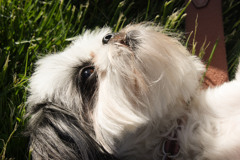 Adorable Gracie Lu Shih Tzu in the Grass