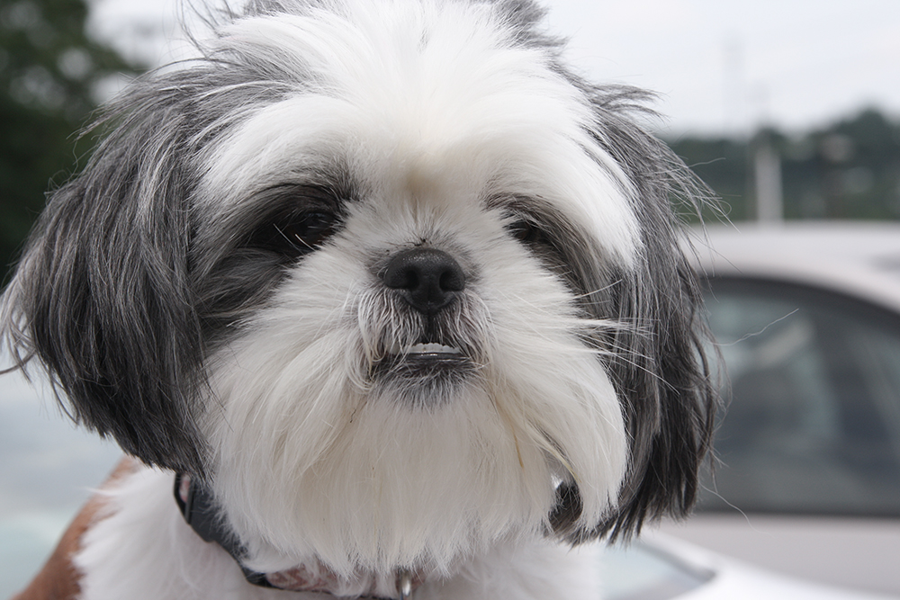 Adorable and cutest shih tzu ever, Gracie Lu