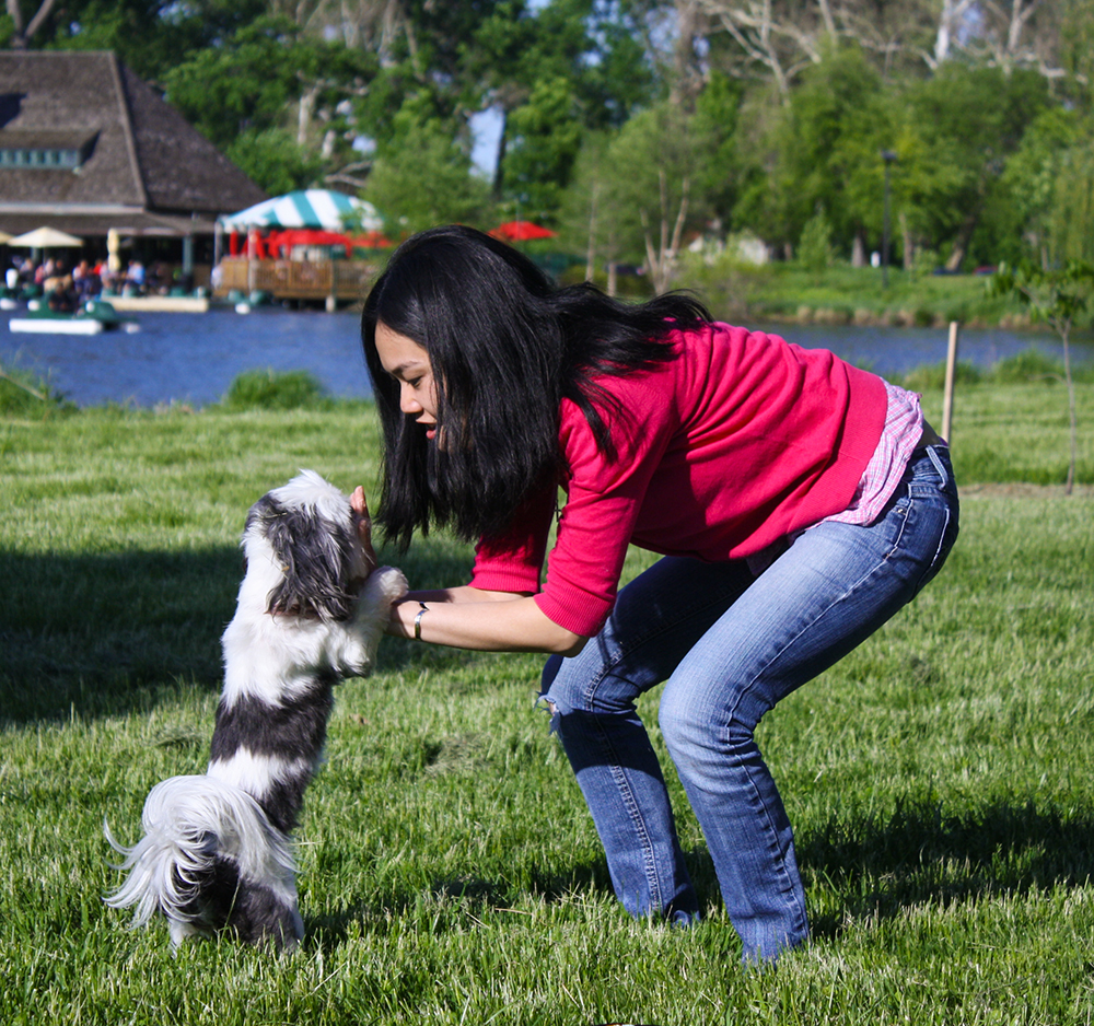 Teaching Gracie Lu Shih Tzu How to do a High Five
