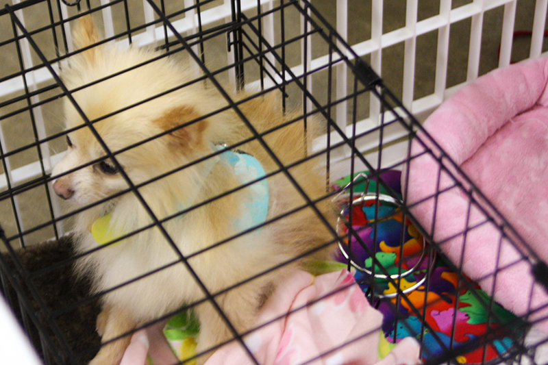 Rescued Pom for Adoption from Small Breed Rescue of East TN
