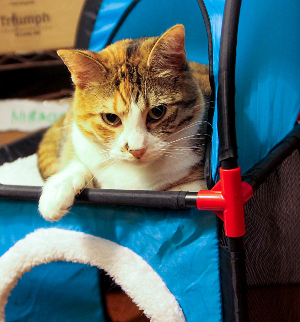 Clementine, Calico Cat Photo