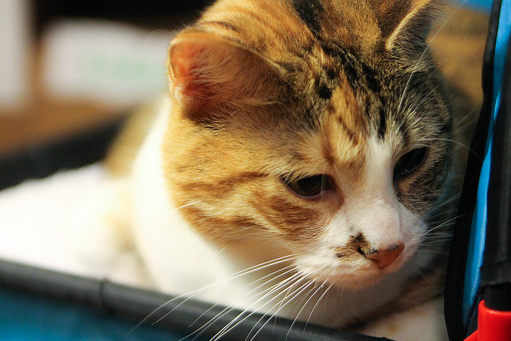 Sweet Clementine the Calico Cat
