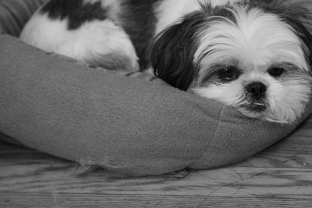 Gracie Lu Shih Tzu Relaxing