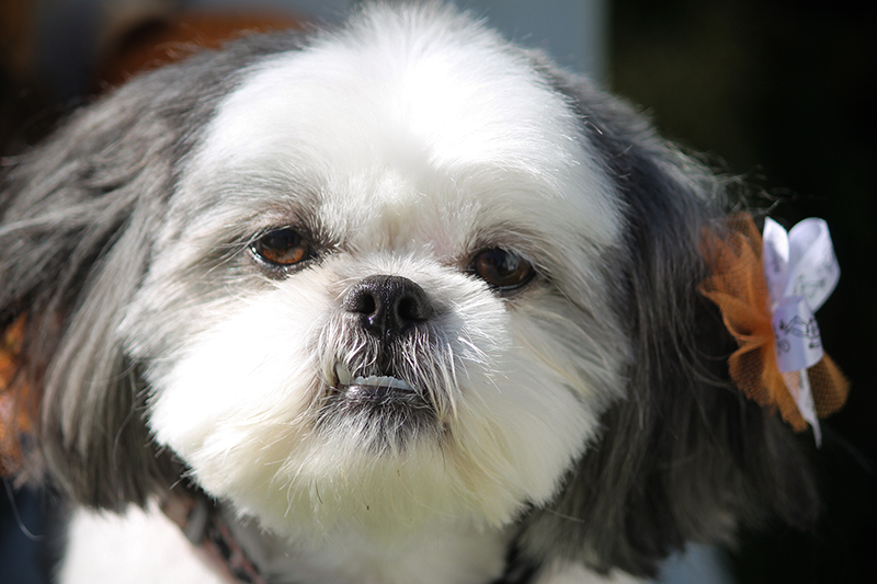 Shih Tzu Puppy looking at Camera