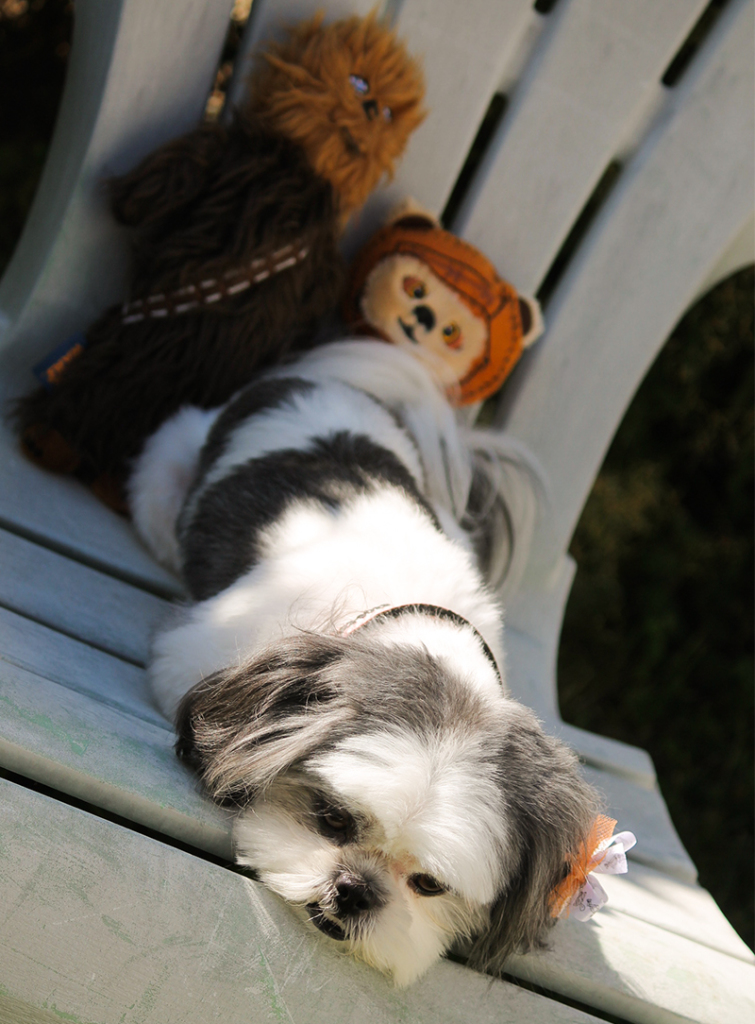 Gracie Lu Shih Tzu lying down with Star wars Dog Toys