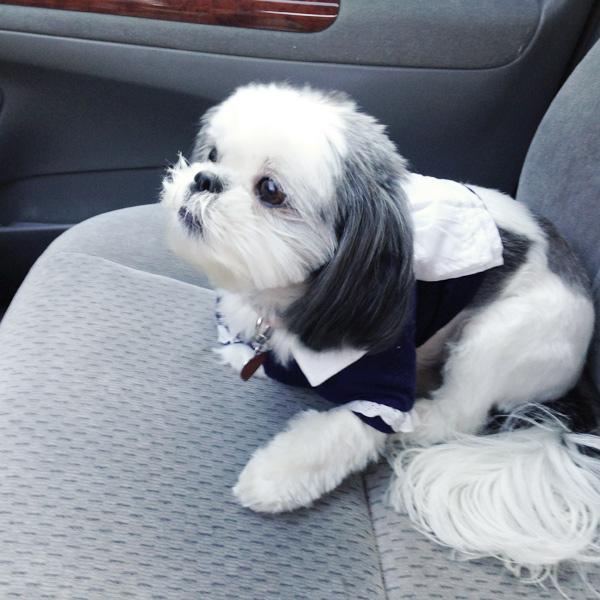French Maid Dog Costume Shih Tzu