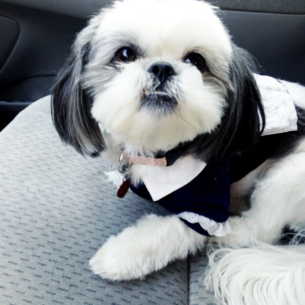 Gracie Lu Shih Tzu French Maid Dog Costume