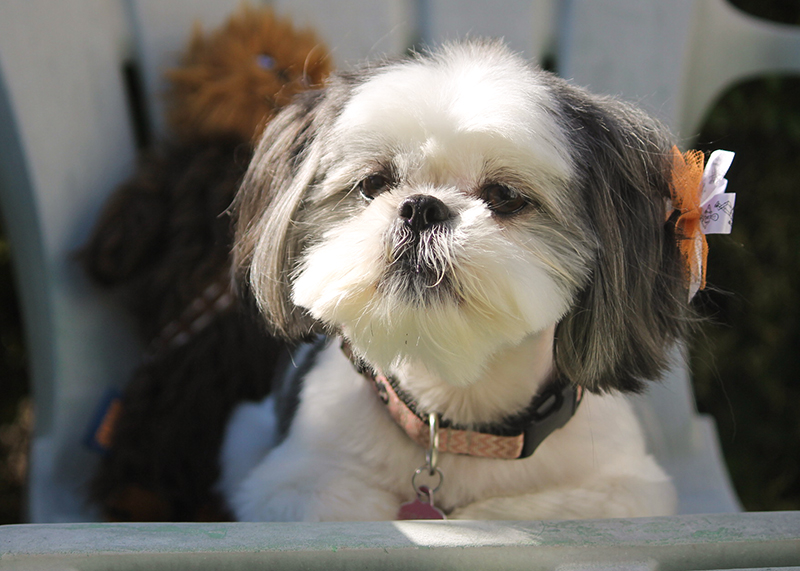 Gracie Lu, the most adorable shih tzu