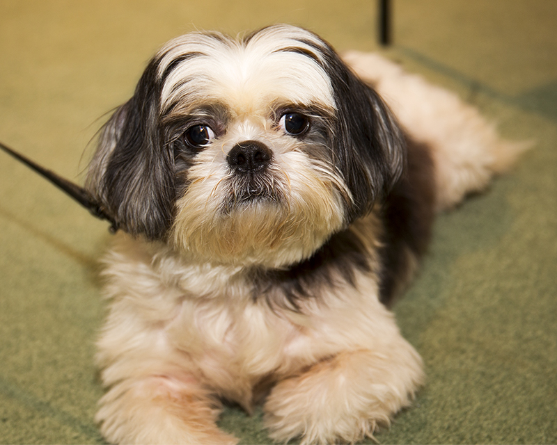 Male Black and White Shih Tzu