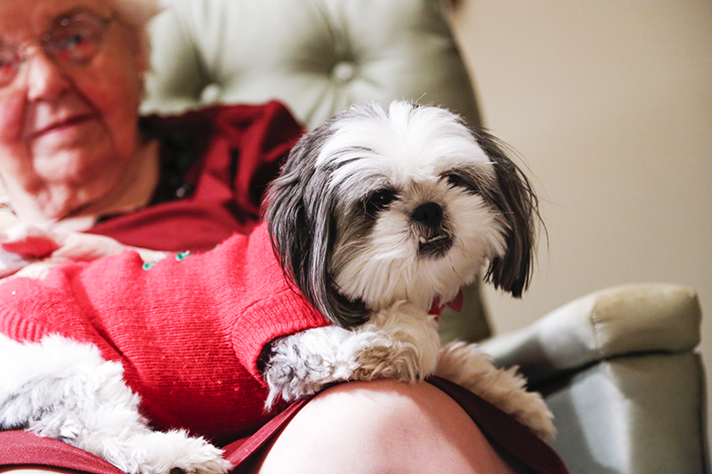 Gracie Lu Shih Tzu the Lap Dog