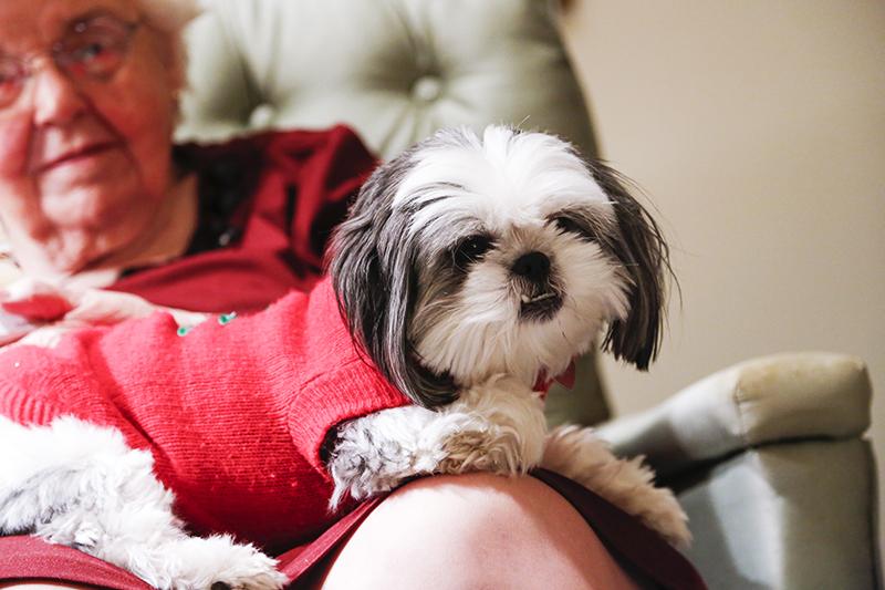 Gracie Lu Shih Tzu the Lap Dog