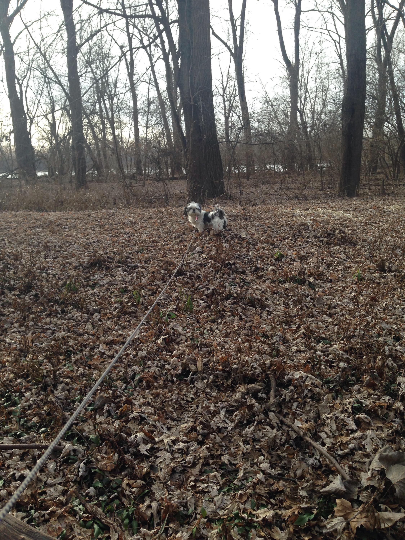Gracie Lu Shih Tzu in the woods