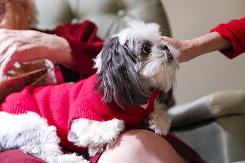 Gracie Lu Shih Tzu Lap Puppy