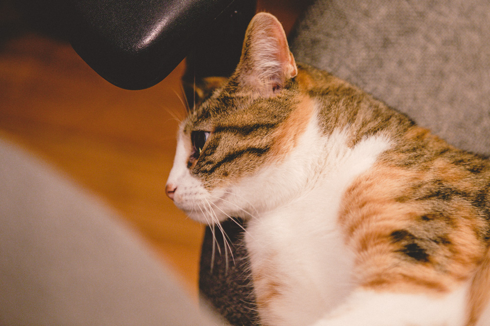 PrettyOrange Calico Cat