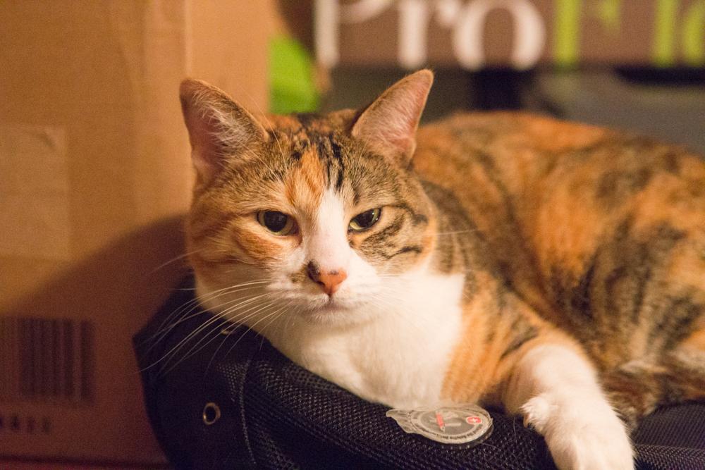 Clementine Calico Cat