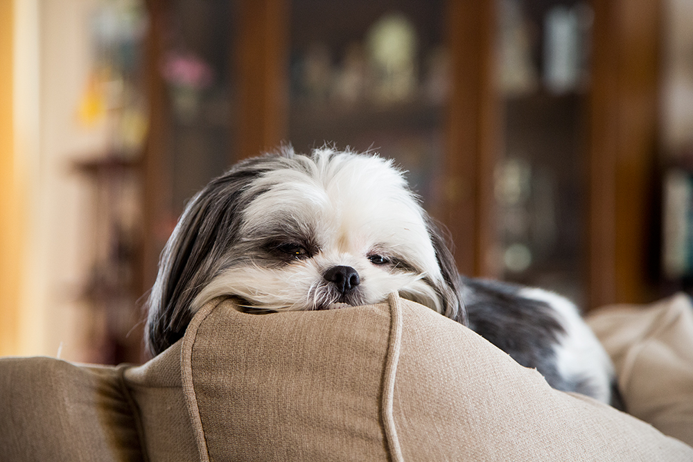 Gracie Lu Shih Tzu Sleepy