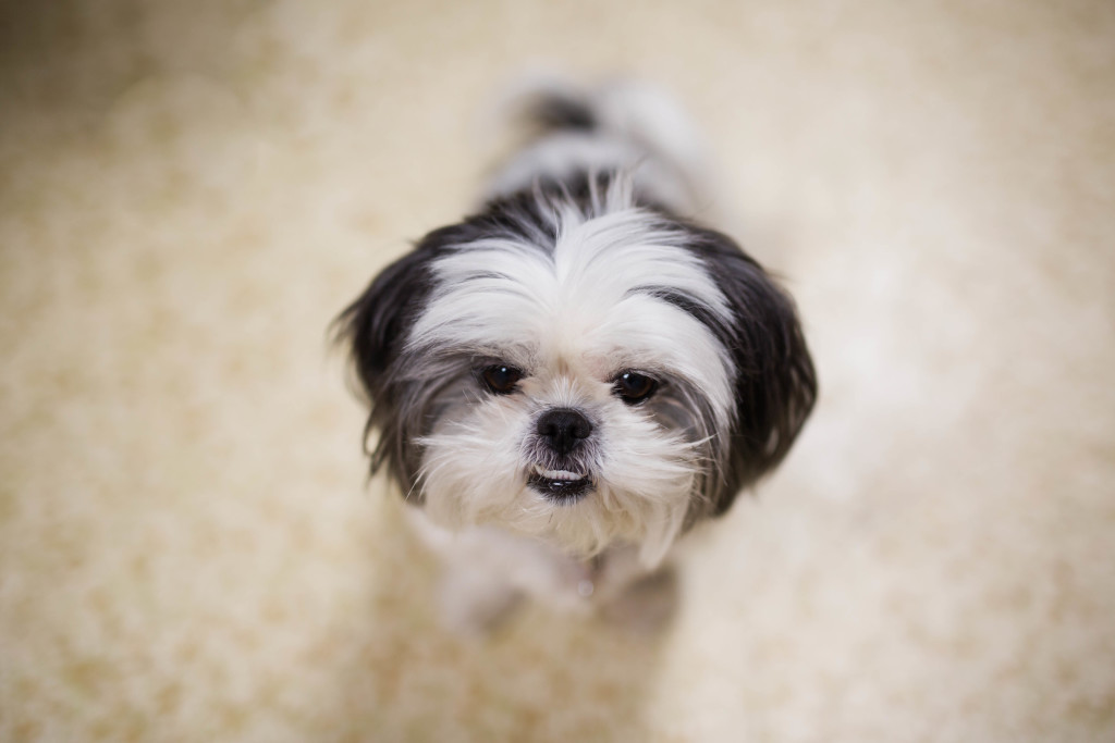Adorable Black and White Shih Tzu