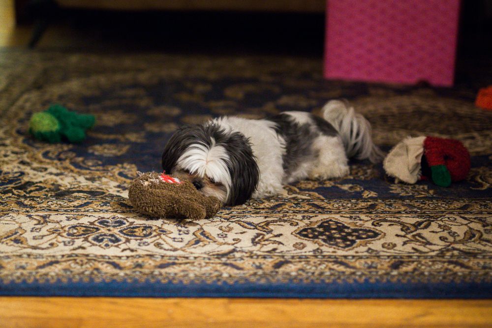 Gracie Lu Shih Tzu playing with Domo Toy