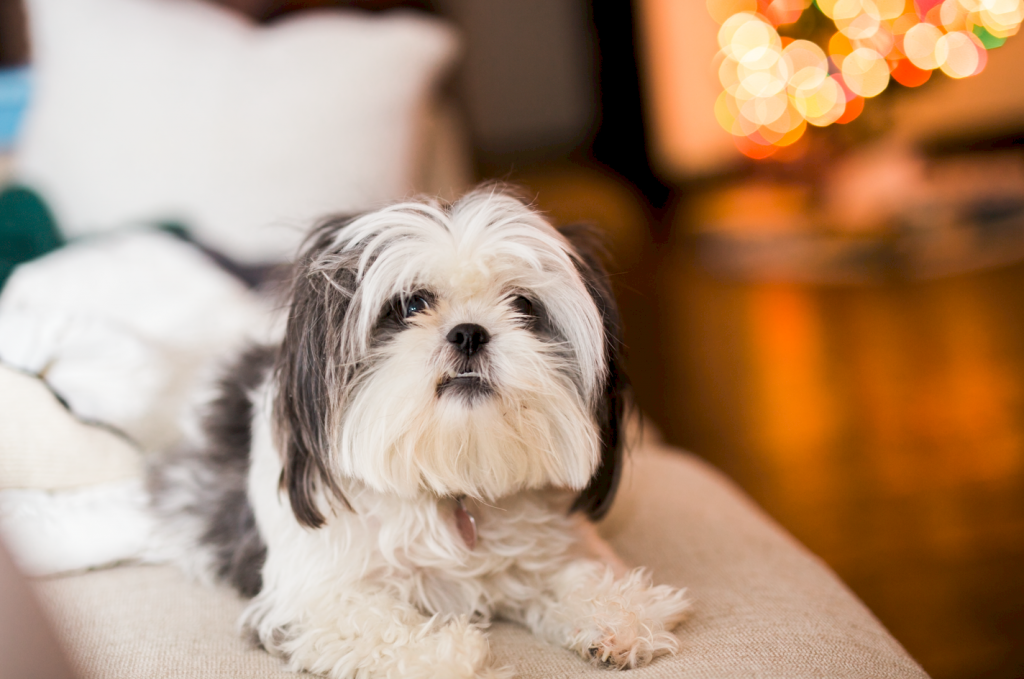 fluffy adult shih tzu dog