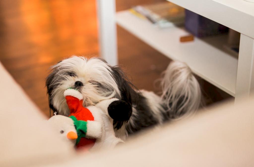 fluffy adult shih tzu dog